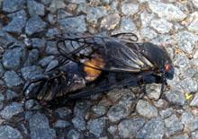 cicadas fornicating