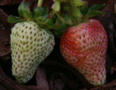 strawberries' first blush